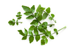 Watercress Isolated on White Background Overhead View. Watercress isolated on a white background.  Overhead view Stock Photo