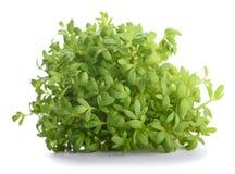 Watercress Lepidium sativum Royalty Free Stock Photos
