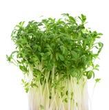 Watercress Lepidium sativum Royalty Free Stock Image