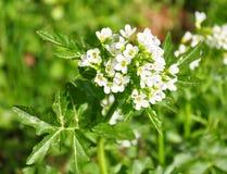 Watercress (Nasturtium officinale) Royalty Free Stock Images