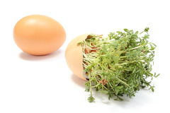Watercress in overturned eggshell and fresh egg. White background Stock Photo