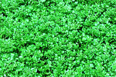 Watercress plants Royalty Free Stock Photography