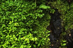 Watercress - plants of acores archipelago Royalty Free Stock Image