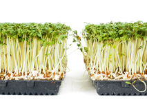 Watercress plants growing in a little black tray Royalty Free Stock Photo