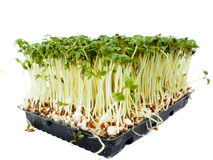Watercress plants growing in a little black tray. Towards white royalty free stock photos