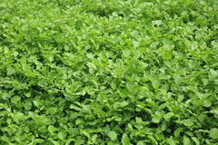 Watercress plants in growth at garden Stock Image
