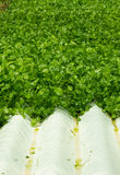 Watercress Plants in Hydroponic culture Royalty Free Stock Photo