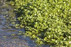 Watercress que cresce na cama Imagem de Stock
