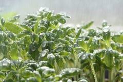 Watercress salad Stock Images