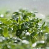 Watercress salad Royalty Free Stock Photos