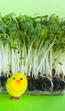 Watercress salad, spring, yellow toy chick. Close up of water cress salad in and a yellow fluffy toy chick on a green background. Easter, seasonal, new life or royalty free stock image