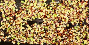 Watercress seeds germinating. royalty free stock photos