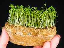 Watercress sprouts. A person holding a bunch of sprouted watercress on hand Stock Photos