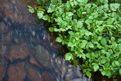 Watercress stream stock images