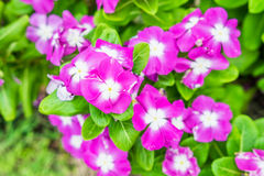 Watercress,vinca flower bush pink white bloom. Green leaf bright Royalty Free Stock Photography