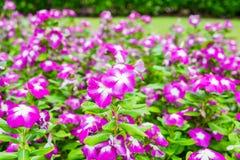 Watercress,vinca flower bush pink white bloom. Green leaf bright Stock Photography