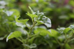 Watercress, wild salad and medicinal herb. Closeup Watercress, wild salad and medicinal herb, prevent cancer growing in vase for eating at home with blurred Royalty Free Stock Photo