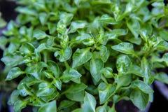 Watercress, zakończenie w górę świeżego watercress tła, surowy organicznie zielony warzywo fotografia royalty free
