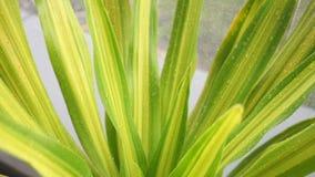 Waterdaling op een blad na het regenen, de Lentebladeren en dalingen van de regen stock videobeelden