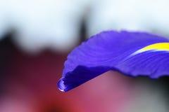 Waterdaling op een bloemblaadje van de altvioolbloem royalty-vrije stock fotografie