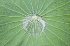 Waterdaling op een reuze tropisch blad in Samut Prakan, Thailand Stock Afbeeldingen