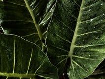 Waterdaling op grote groene bladeren, donkergroene verlofachtergrond Stock Fotografie