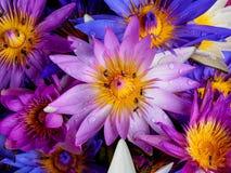 Waterdaling op kleurrijke waterlelie met bij Royalty-vrije Stock Foto