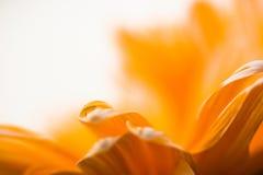 Waterdaling op Oranje Daisy Royalty-vrije Stock Foto