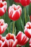 Waterdaling op rode tulpen Stock Afbeelding