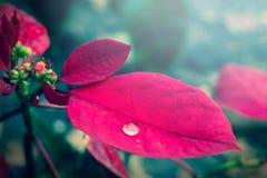 Waterdaling op rood blad Stock Foto