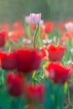 Waterdaling op tulp op tuinachtergrond Royalty-vrije Stock Afbeeldingen