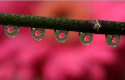 Waterdalingen met Weerspiegelde Gerbera Daisy Flower, macro Royalty-vrije Stock Afbeeldingen