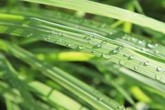 Waterdalingen op citroengrasbladeren Royalty-vrije Stock Afbeelding