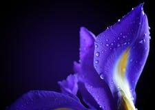 Waterdalingen op de bloem van de de lenteiris stock afbeeldingen