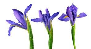 Waterdalingen op de bloem van de de lenteiris vector illustratie