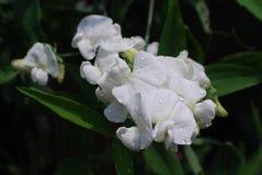 Waterdalingen op een Witte Bloeiende Schat royalty-vrije stock fotografie