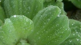 Waterdalingen op installatiebladeren Van bovengenoemde close-upbladeren van groene installatie met dalingen van schoon zoet water stock videobeelden