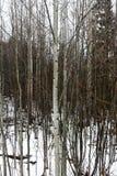 Waterdalingen op naakte boomstammen van espbomen in bos Stock Fotografie