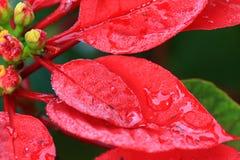 Waterdalingen op rode leaf Stock Afbeeldingen