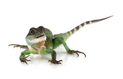 Waterdragon Royalty Free Stock Photo