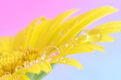Yellow flower daisy with water drop on petal. Yellow flower with water drop on petal extreme enlargement royalty free stock photography