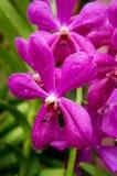 关闭与WaterDrop的紫色兰花 库存照片