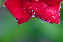 Waterdrop on china rose petal Stock Image