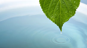 Waterdrop with leaf. Wet leaf as a wellness or health concept. with copy-space Stock Photography