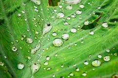 waterdrop på lotusblommabladet Arkivbild