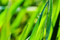 Waterdrop su un'erba Fotografia Stock