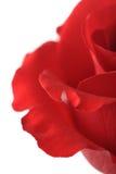 Waterdrop sur un rouge s'est levé Photo stock