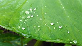 Waterdrop on taro leaves stock image