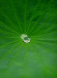 Waterdrop on lotus leaf. The lotus leaf after rain stock images