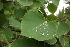 Waterdroplets на листьях Стоковая Фотография RF